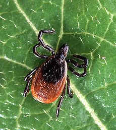 ticks